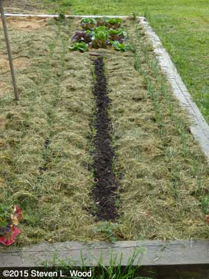 Onions and carrots mulched