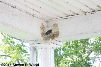 Barn swallow nesting under porch