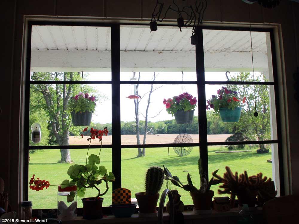 Petunias and hummingbird outside kitchen window