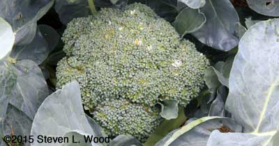 First head of broccoli