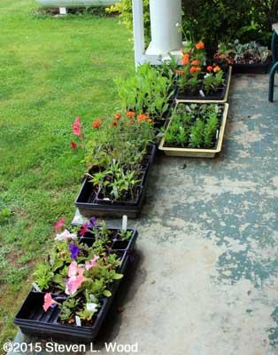 Floweer transplants on back porch
