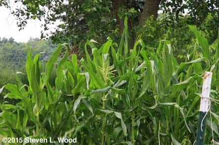 Corn tassel 1