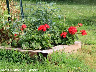 Maverick Red geraniums in bloom