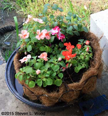 Trailing Impatiens (Envoy mixed)