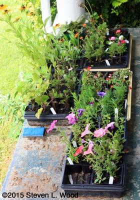 Flower transplants on back porch