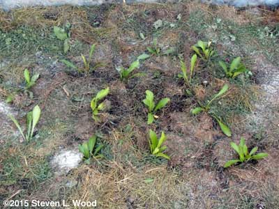 Shasta Daisy Plants