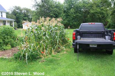 Corn stalks to be removed