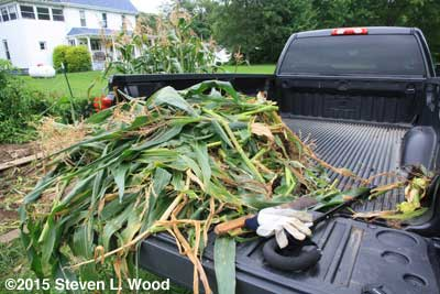 Corn stalks in truck
