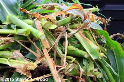 Corn stalks chopped