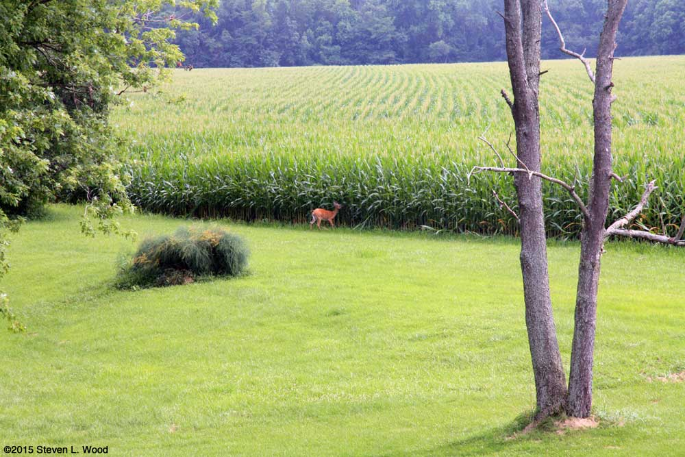 Deer at back of yard