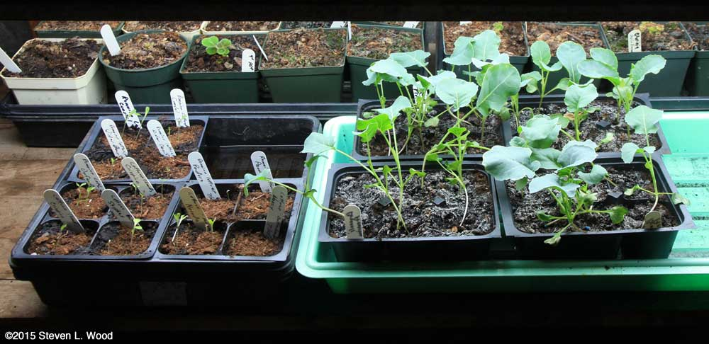Fall lettuce and brassica transplants growing under lights