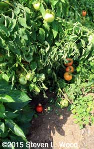 Groundfall tomato plus ripening on vine