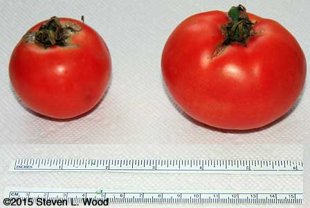 Tomatoes with ruler for size reference