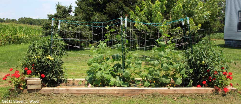 Mountain Merit on left, cucumbers center, Mountain Fresh on right