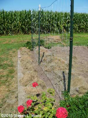 Peas planted, tellised, and mulched