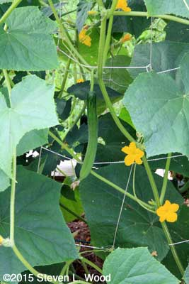 Immature JLP cucumber on vine