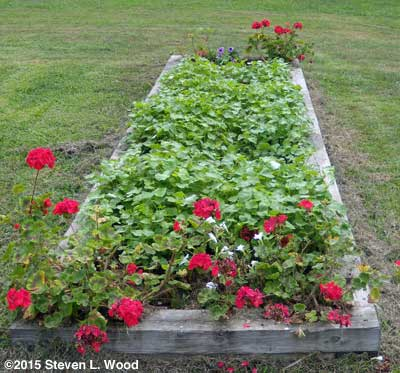 Narrow bed of buckwheat and geraniums
