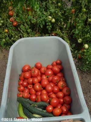 Cart with JLP cucumbers and Earlirouge tomatoes