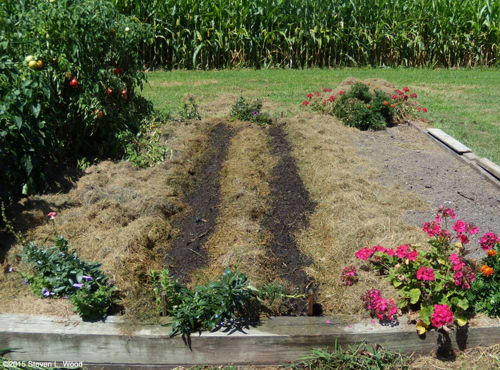 Mulched and watered bean rows with zebra swallowtail butterfly