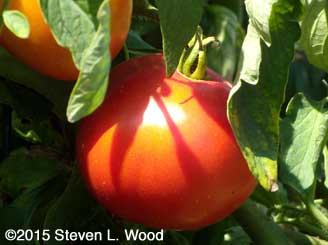 Earlirouge tomato