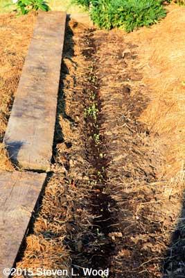 Kale emerging