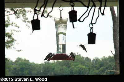 Hummingbirds outside kitchen window