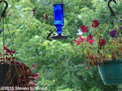 Hummingbirds around feeder