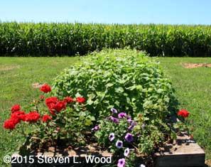 Narrow raised bed planted to buckwheat