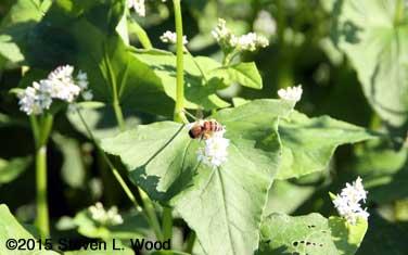 Honeybee on buckwheat 2