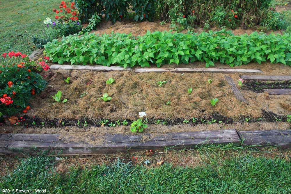 Fall lettuce transplanted