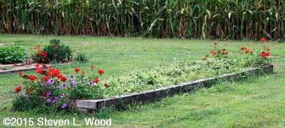 Buckwheat cut