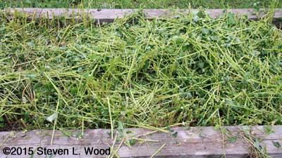 Chopped buckwheat plants