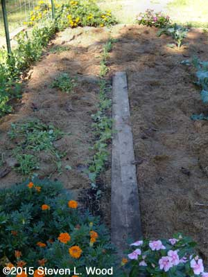 Kale row thinned
