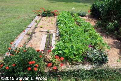 Very healthy green bean plants