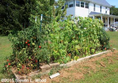 Row of Japanese Long Pickling cucumber plants
