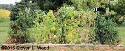 Weary Cucumber Vines