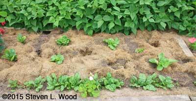 Damaged Lettuce Patch