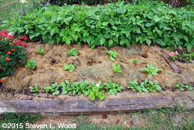 Repaired and remulched lettuce patch