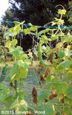 Still ripening cukes