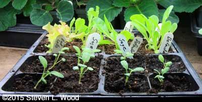 Sage and lettuce seedlings