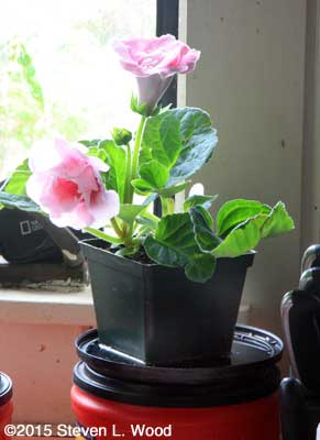 Pale pink gloxinia in kitchen window