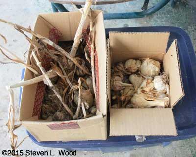 Cull garlic for garlic powder