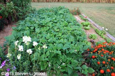 Green bean plants in bloom