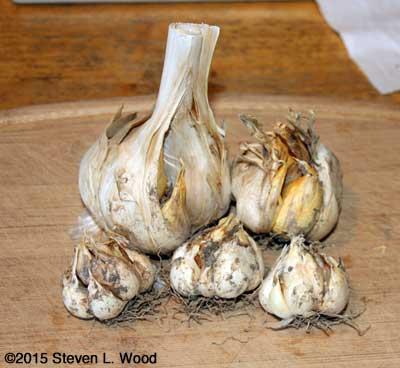 Cull garlic cloves