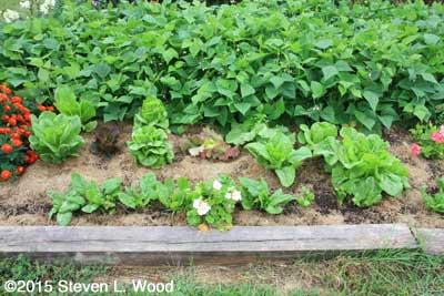 Lettuce ready for picking
