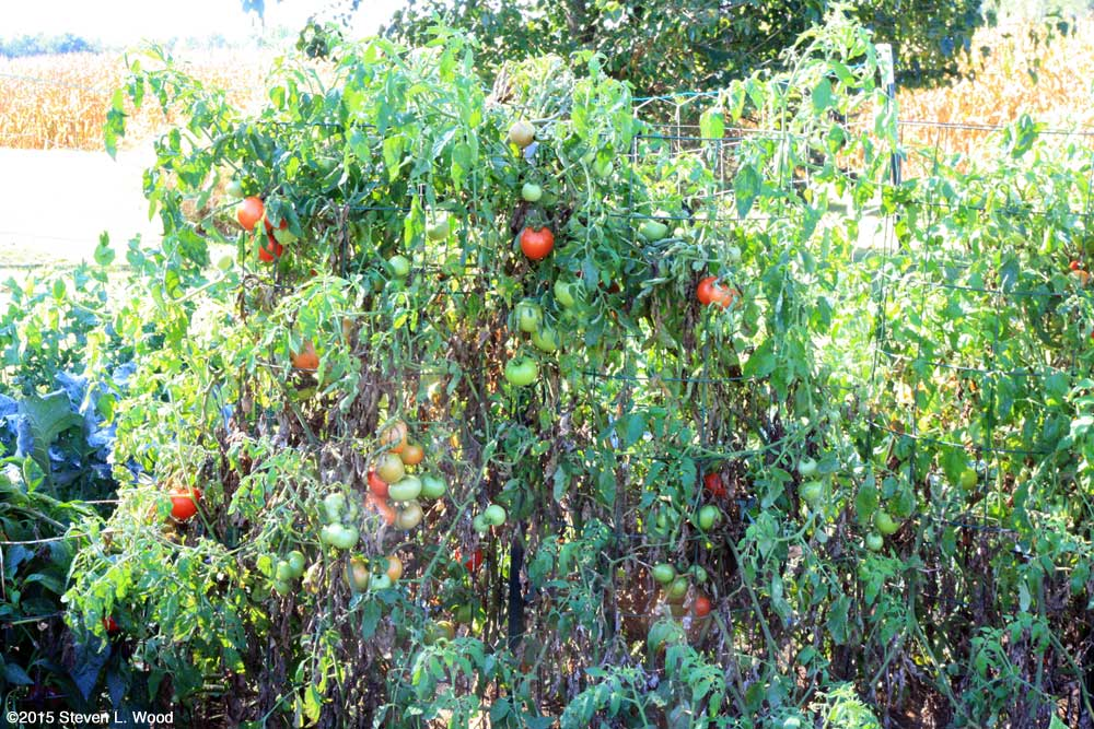 Rejuvinated Earlirouge Tomato Plants