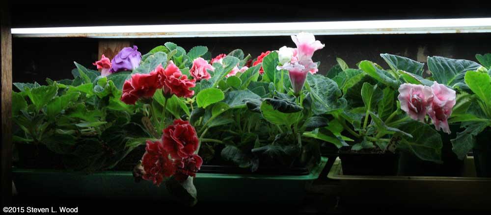 Gloxinias under lights