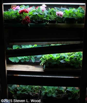 Gloxinias on Plant Rack
