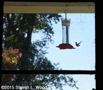 Hummingbird through window