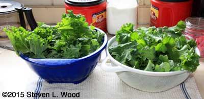 Kale drying in colanders